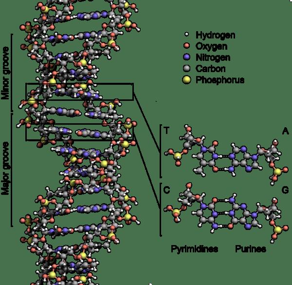L'ADN (merci Wikipedia)